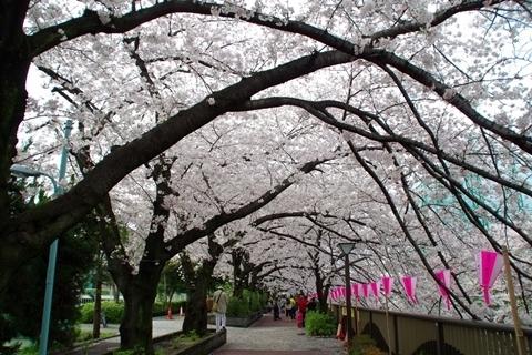 目黒川の桜・目黒区民センター付近