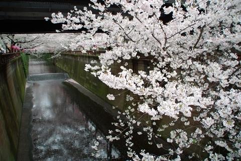 中目黒駅下の桜