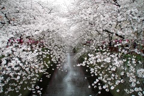 中目黒の桜2