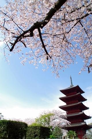 五重塔と桜3