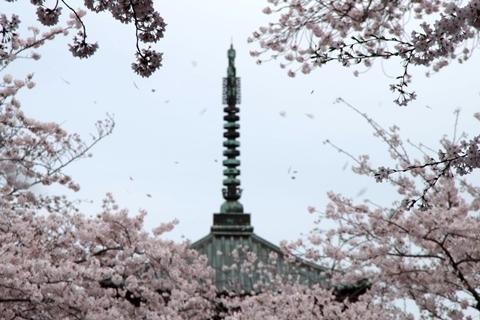双輪と桜吹雪2