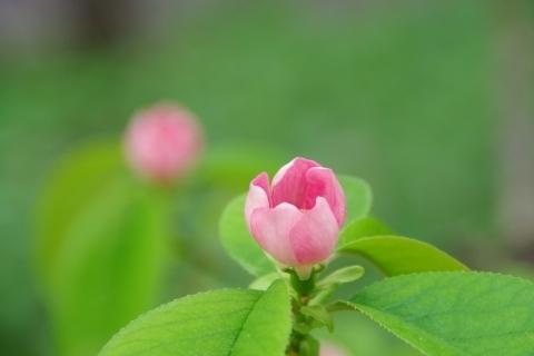 咲き始めのカリンの花
