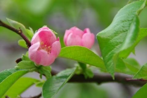 カリンの花々