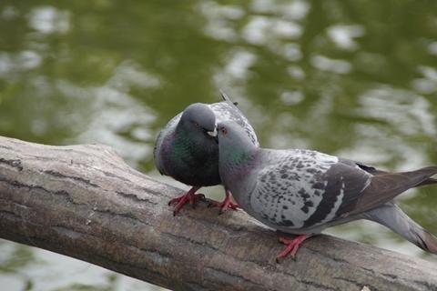 熱烈キス中のドバト