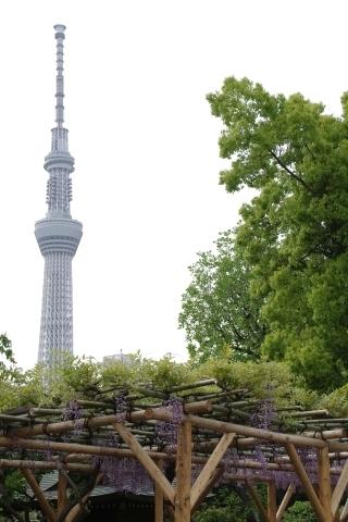藤棚と東京スカイツリー2