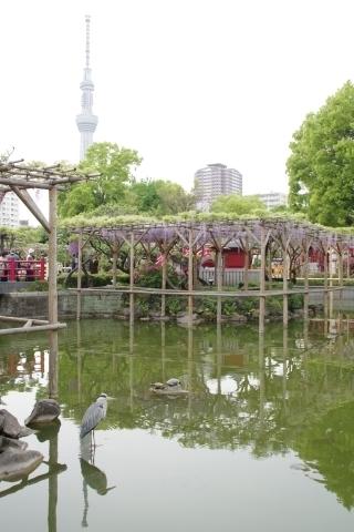 東京スカイツリーと藤とアオサギ.JPG