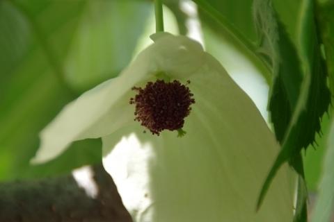 ハンカチノキ、雌花