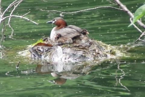 カイツブリの親鳥と雛