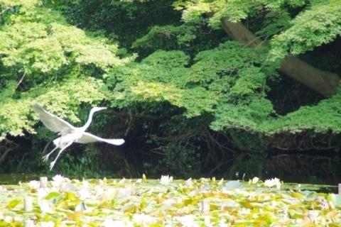 飛んだアオサギ