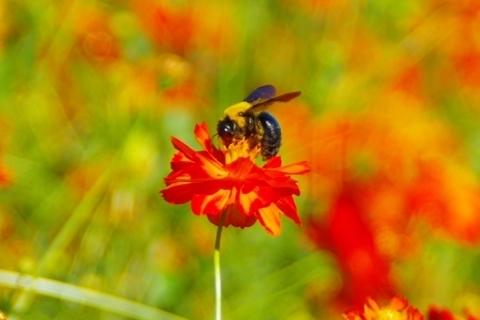 花粉を集めるクマバチ