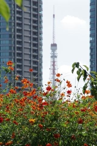 キバナコスモスと東京タワー