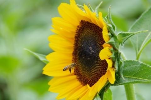 ヒマワリに向かうミツバチ
