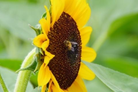 ミツバチ1匹