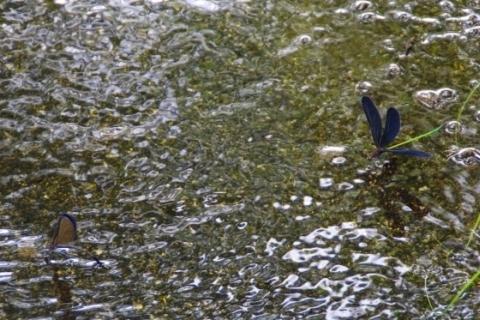翅をひろげるオス