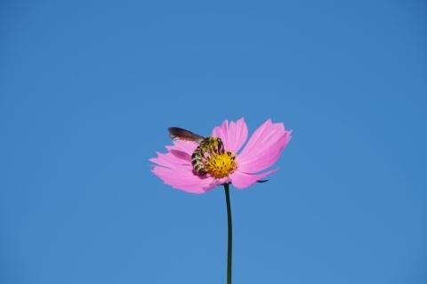 花粉を集めるアブ