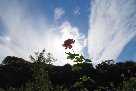雲とバラのツル