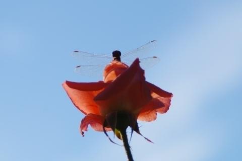 青空に映えるアカトンボ