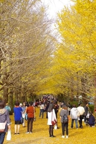 かたらいのイチョウ並木の黄葉