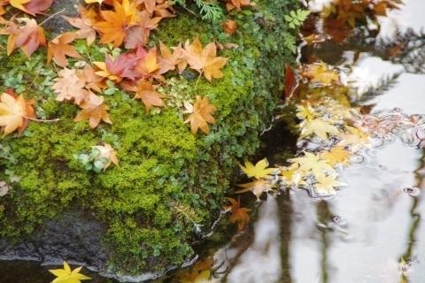 苔むす岩のモミジ