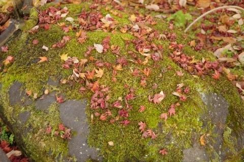 岩の苔とモミジ