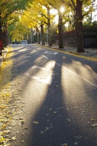 イチョウの影