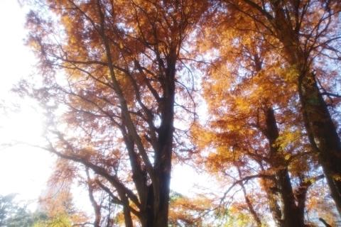 輝くラクウショウの紅葉