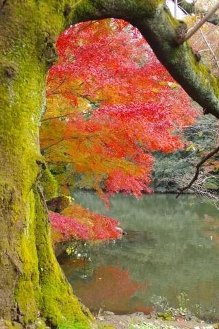 苔むす桜の木とモミジ