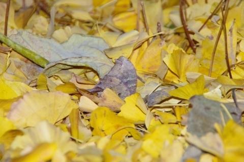 落ち葉の中のクロコノマチョウ
