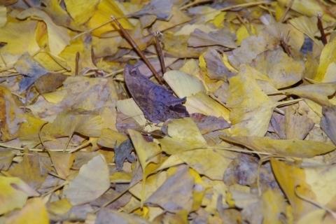 風で倒れるクロコノマチョウ