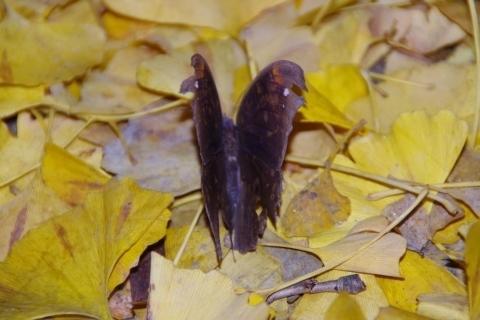 少し翅を開いたクロコノマチョウ