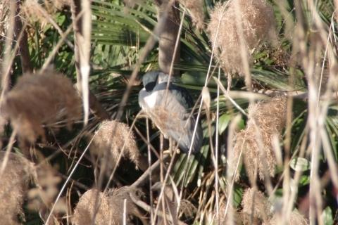 ゴイサギの成鳥