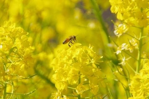 探し回るミツバチ
