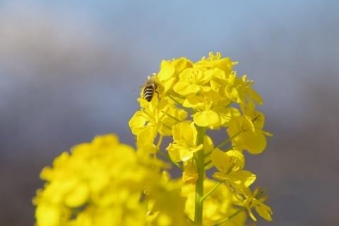 かき集めるミツバチ