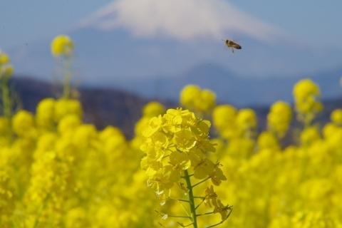 忙しいミツバチ