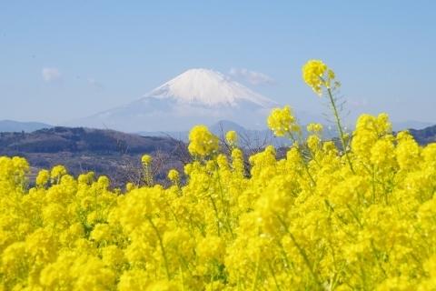 菜の花と富士山4
