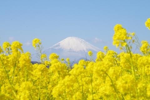 菜の花と富士山5