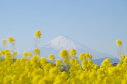 菜の花と富士山6