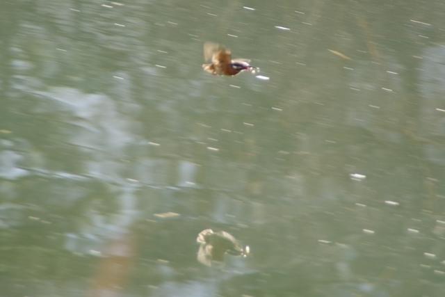 飛ぶカワセミ3