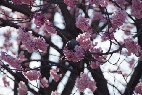 椿寒桜に野鳥