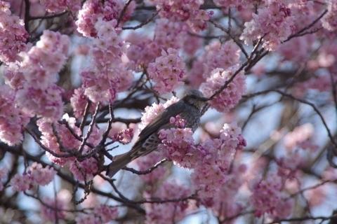 椿寒桜にヒヨドリ