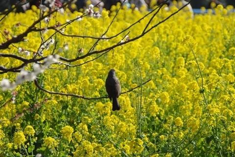 梅に止まって菜の花を見るヒヨドリ