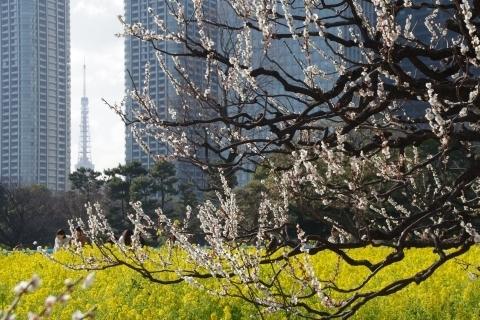 梅と菜の花と東京タワー