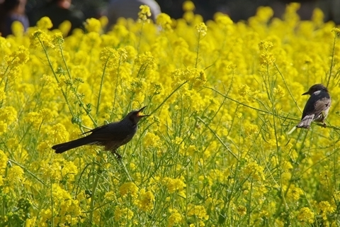 菜の花を食べるヒヨドリ