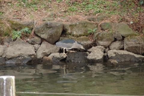 魚を探すゴイサギ