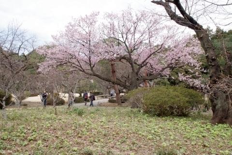 寒桜とフキ