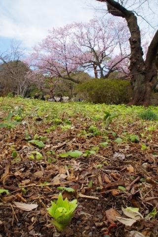 フキと寒桜