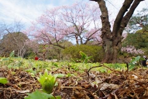 寒桜を見上げる寒桜
