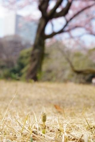寒桜を見上げるツクシ