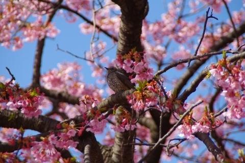 修善寺寒桜とヒヨドリ
