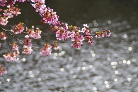 水面と修善寺寒桜